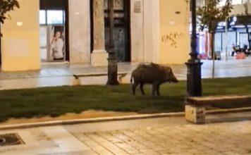 θεσσαλονίκη-αγριογούρουνο-έκοβε-βόλ